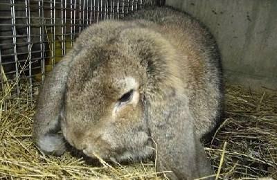 Лечение кроликов от глистов: симптомы болезни, препараты и меры профилактики
