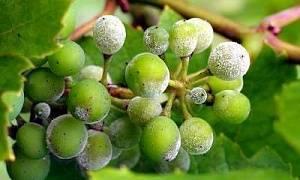 Милдью на винограде – фото и чем лечить