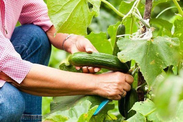 Как применять селитру огурцов в качестве удобрения