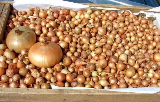 Лук семейный: посадка, выращивание и уход в открытом грунте