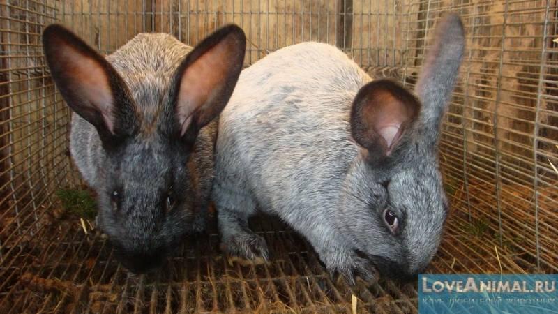 Кокцидиоз у кроликов, развитие, эффективное лечение и профилактика 2020