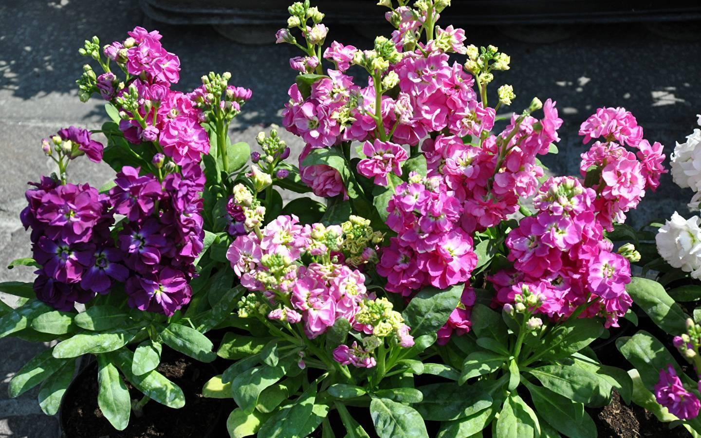 Маттиола: когда сажать и как выращивать