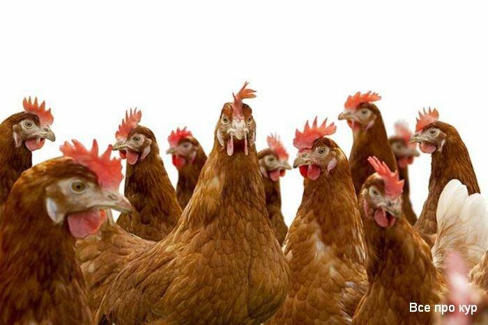 Как безошибочно определить возраст курицы несушки
