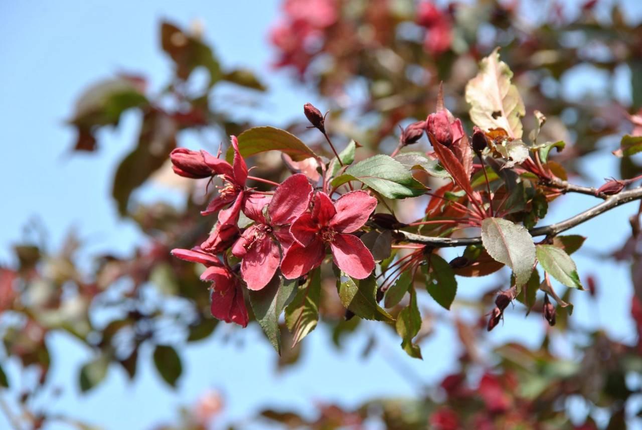 Использование декоративной яблони роялти в ландшафтном дизайне