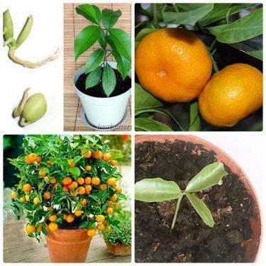 Выращивание мандарина из косточки в домашних условиях - подробное описание!