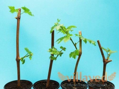 Как правильно выращивать виноград из черенков