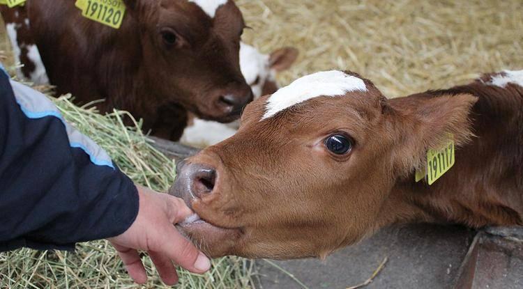 Сколько минут доить корову вручную и аппаратом (додаивать?)