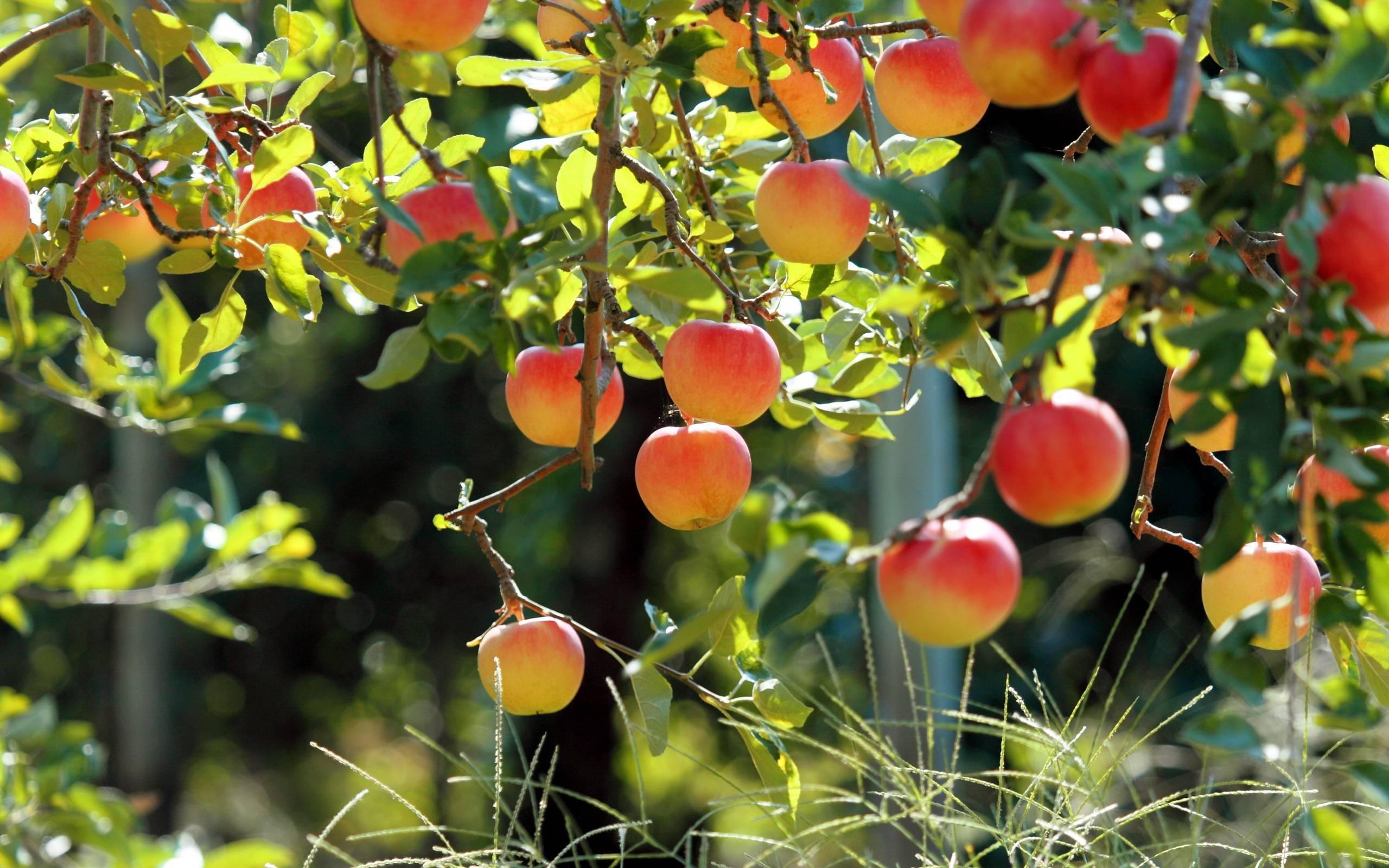 Можно ли сажать сливу рядом с яблоней. совместимость плодово-ягодных деревьев и кустарников
