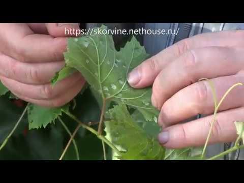 Как бороться с паутинным клещом на смородине