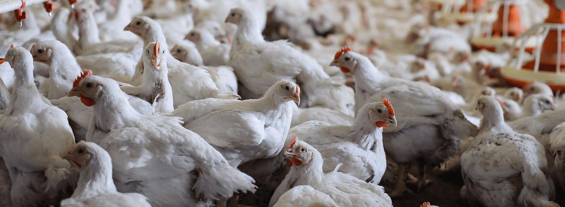 Температурный режим для цыплят бройлеров: условия выращивания