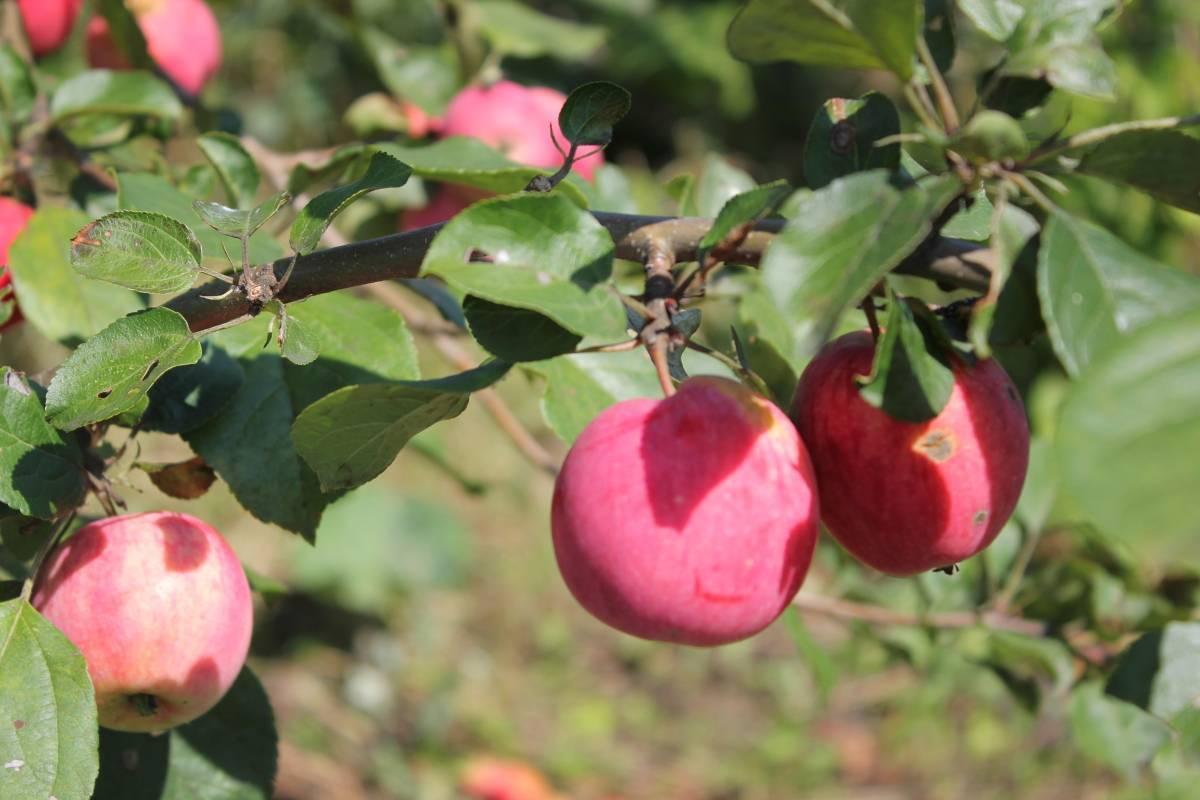 Яблоня «осеннее полосатое»