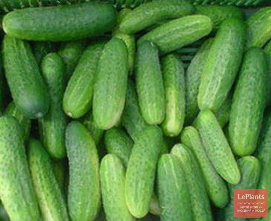 Огурец седрик f1: описание сорта, достоинства и недостатки, правила посадки, агротехника, отзывы