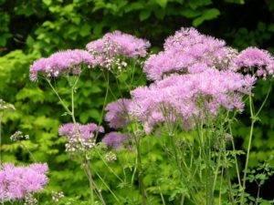 Василистник: виды и сорта, разведение в саду