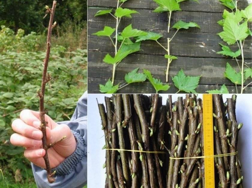 Особенности черенкования черной смородины весной. как правильно укоренить черенки?