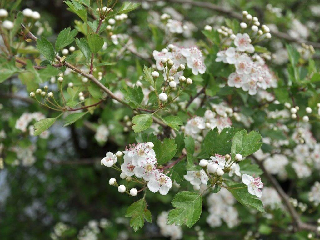 Боярышник — описание культуры, посадка и выращивание
