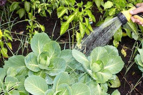 Как часто поливать капусту в открытом грунте осенью, когда и чем удобрять