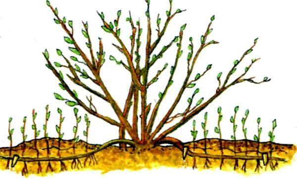 Рождение нового куста: пора размножать смородину и крыжовник черенками