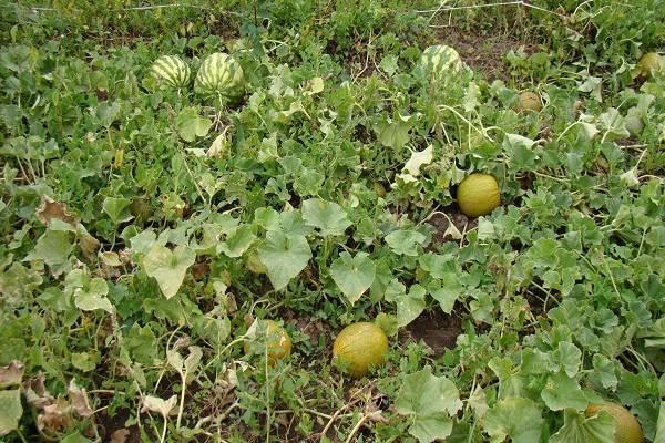 Выращивание арбузов в сибири и севере | россельхоз.рф