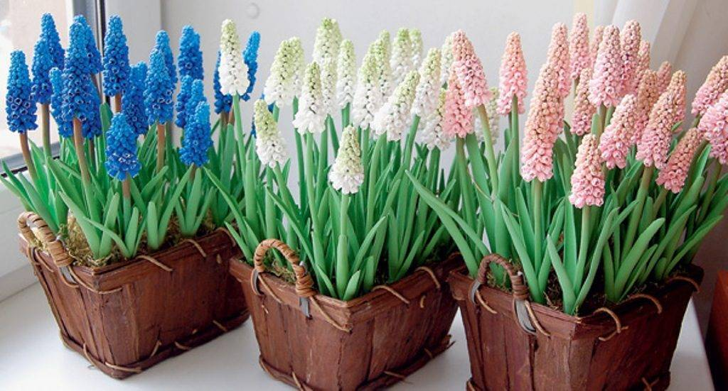 Уход за мускари весной, подготовка к посадке, что после цветения