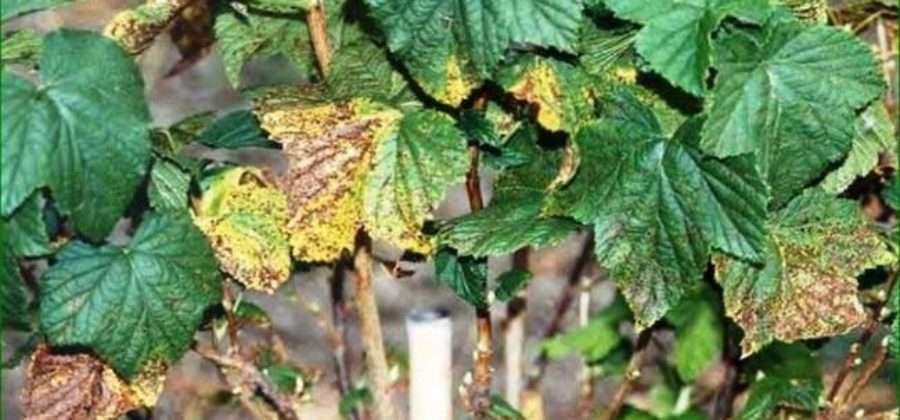 Обработка смородины от болезней и вредителей