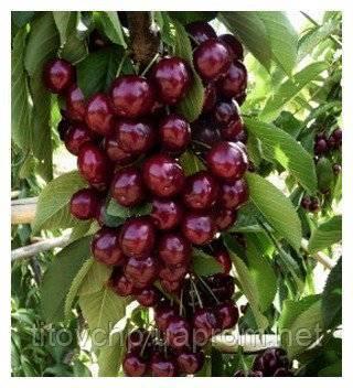 Лучшие сорта черешен для выращивания в подмосковье, посадка и уход