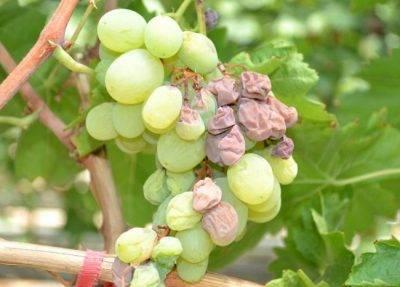 Весенняя подкормка – залог высокого урожая винограда