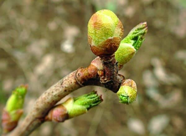 Почковый клещ на смородине - меры борьбы весной, самые эффективные средства