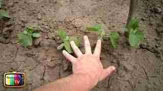 Необычные способы выращивания огурцов