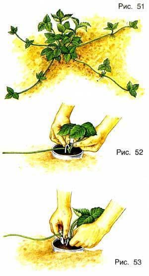 Размножение клубники усами: способы и советы экспертов как правильно размножать различные виды и сорта клубники. видео инструкции + 90 фото