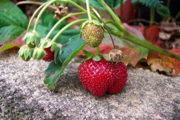 Клубника сельва: описание сорта, отзывы садоводов, фото