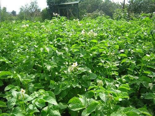 Как подготовить осенью почву под картофель. как подготовить землю под посадку картофеля?