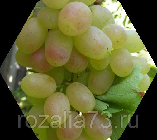 Виноград кеша: описание сорта, фото, отзывы, уход, видео