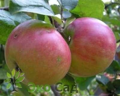 О яблоне хелена: описание сорта, характеристики, агротехника, выращивание