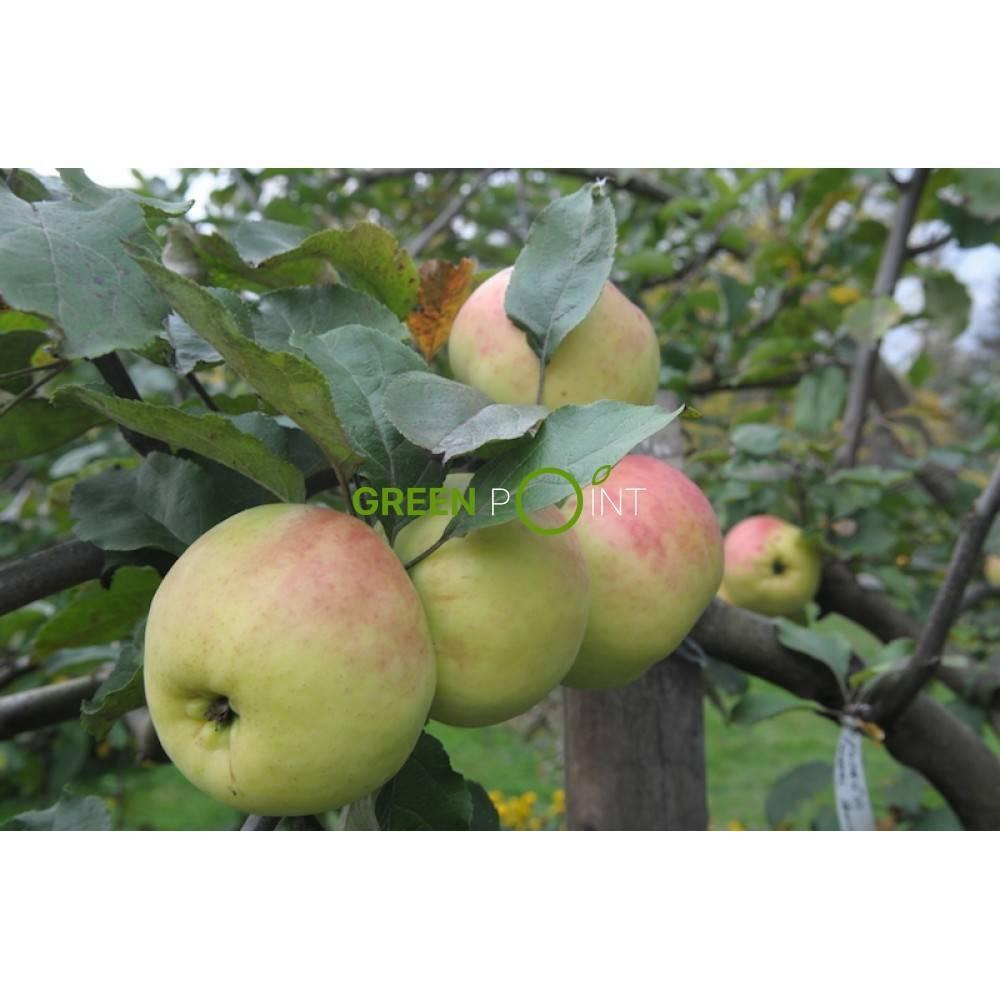 О яблоне северный синап, описание сортов, характеристики разновидностей