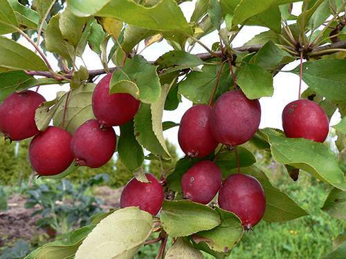 Яблоня долго китайка: описание сорта и его фото