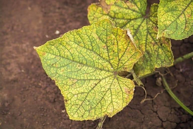 Листья огурцов желтеют, скручиваются, что делать, как бороться