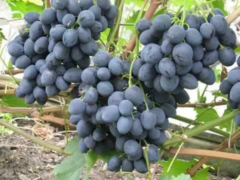 Сфинкс виноград — ягоды грибы