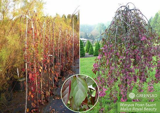 Особенности выращивания и ухода за яблоней сорта айдаред