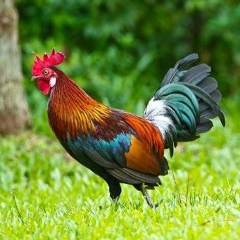 Курица (gallus gallus): описание, содержание, разведение, фото