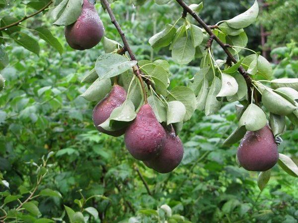Груша «брянская красавица»: характеристика и особенности выращивания