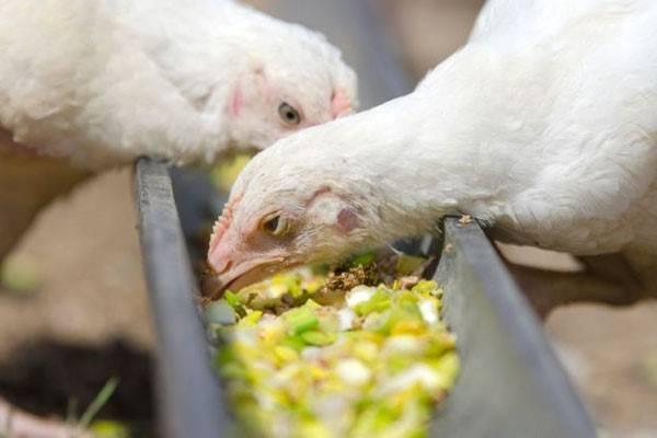 Таблицы веса и роста бройлеров по дням (вес и рост цыпленка в месячном возрасте)