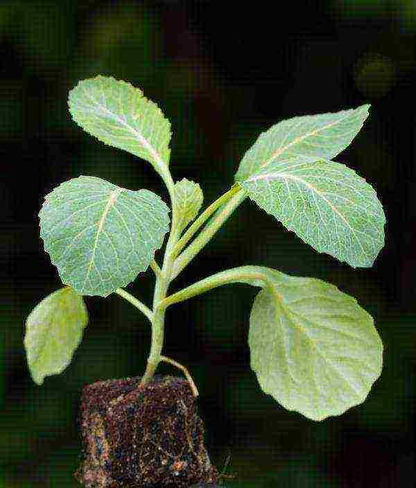 Как выращивать белокочанную капусту в открытом грунте без рассады