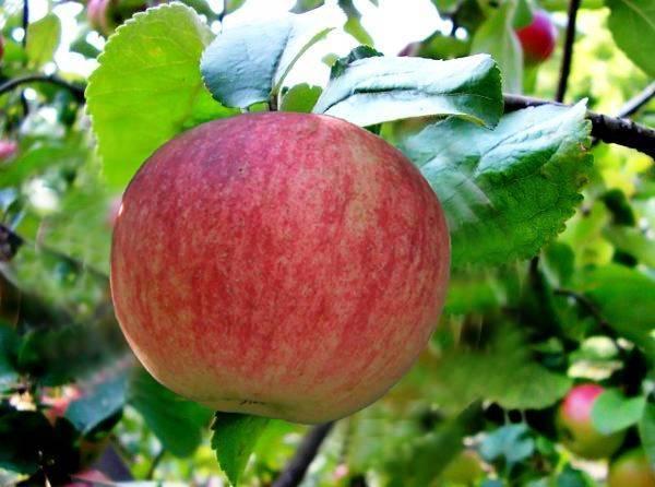 Яблоня для поклонников сладких плодов или сорт конфетное