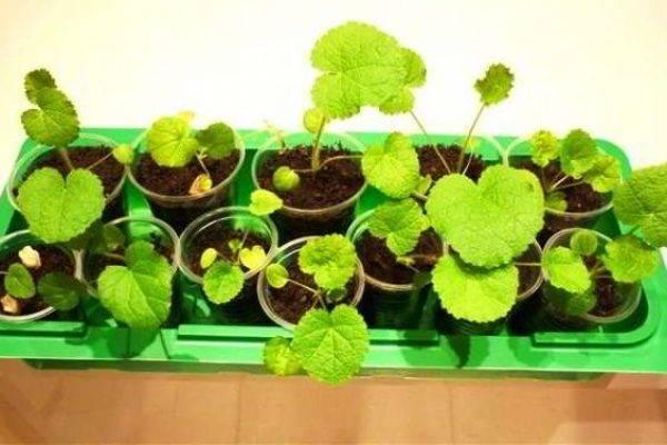 Шток розы: выращивание из семян рассадой, посадка и уход - roza-i-fialka.ru