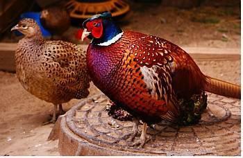Выращивание фазана в домашних условиях