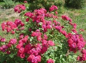 Характеристики морозоустойчивых сортов канадских роз