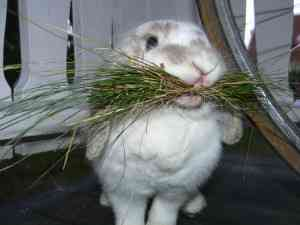 Чем кормить кроликов в домашних условиях зимой? правила кормления. можно ли давать сырую картошку? какие ветки едят кролики?