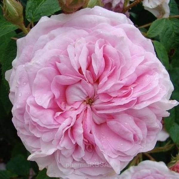 Канадский парковый сорт розы джей пи коннел: выращивание корнесобственной культуры