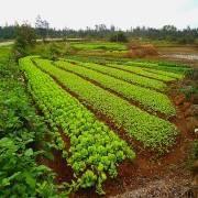 Какие сидераты лучше сеять для картофеля