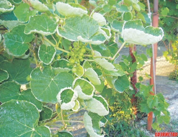 На винограде скручиваются листья в трубочку: что делать? - ты-фермер